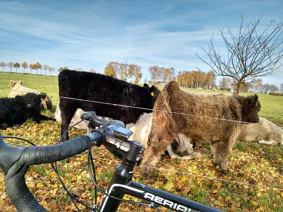 Wollige Kuh mit Rad