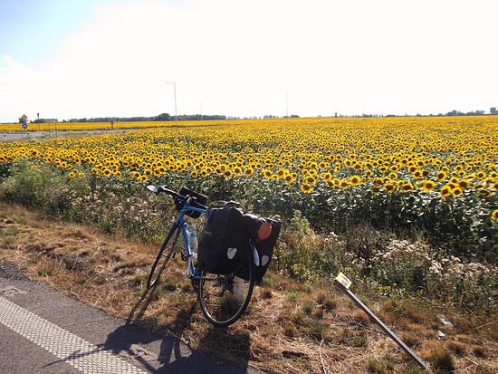 Sonnenblumenfelder vor Senec