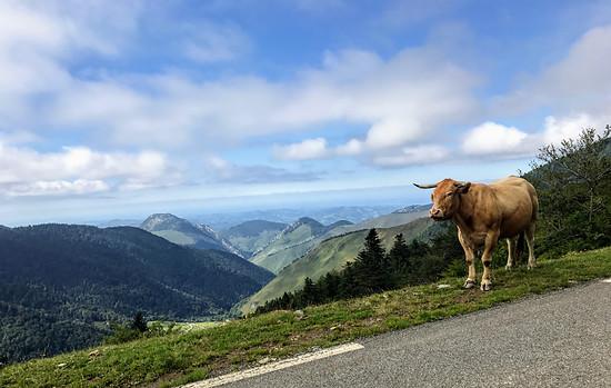 Freilaufende Kühe