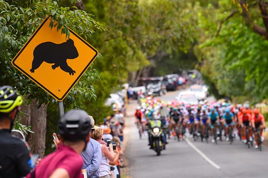 Koalas crossing
