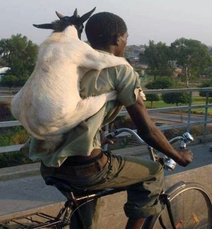 BicycleafricaGoat